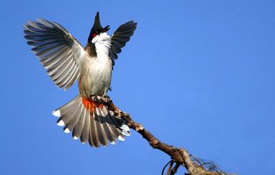 Kỹ thuật nuôi chim Chào mào để có giọng hát hay