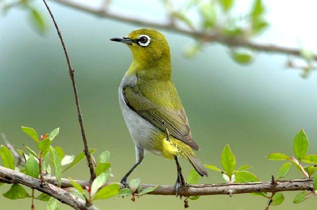 Hướng dẫn cách nuôi chim vành khuyên